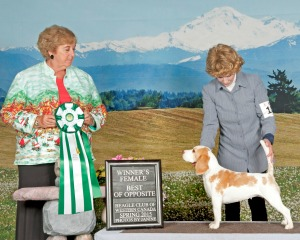 Ch Manahound Megabyte wins at Canadian Beagle Specialty